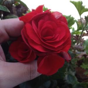 リーガースベゴニアの花