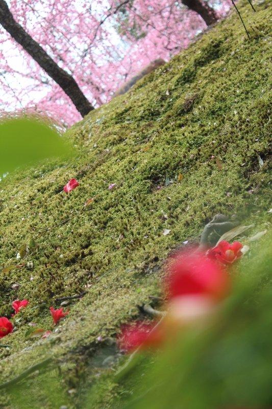 しだれ梅と椿