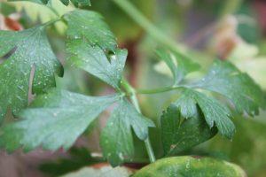 イタリアンパセリの葉