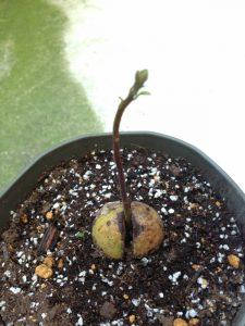 アボカドの新芽
