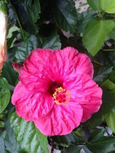ハイビスカス しっかりとした赤ピンク系
