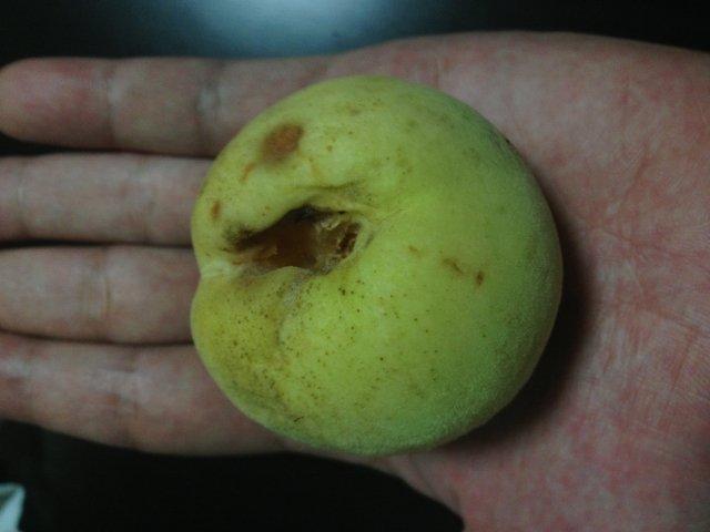 花桃の実のサイズ