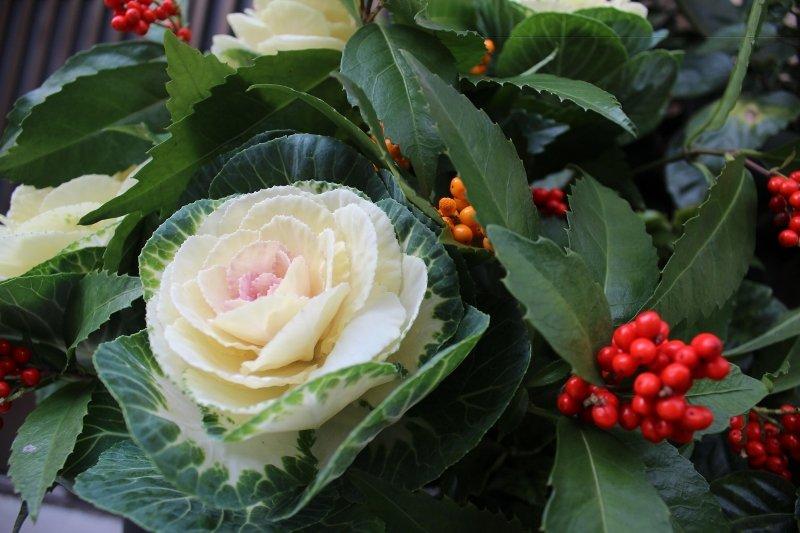 お正月の生け花 葉牡丹と千両