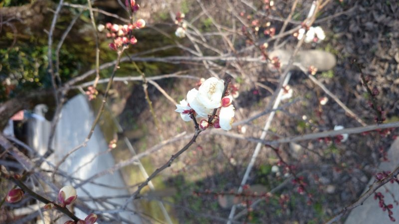 北野天満宮の梅花