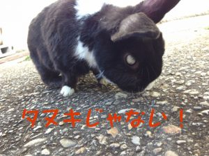 ウサギはタヌキではありません
