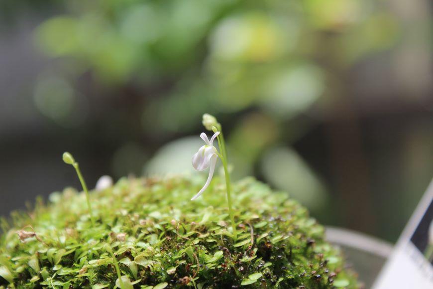 ウサギゴケが開花2