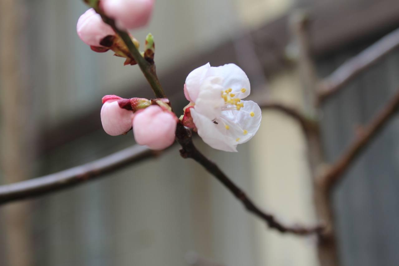 杏(あんず)も開花