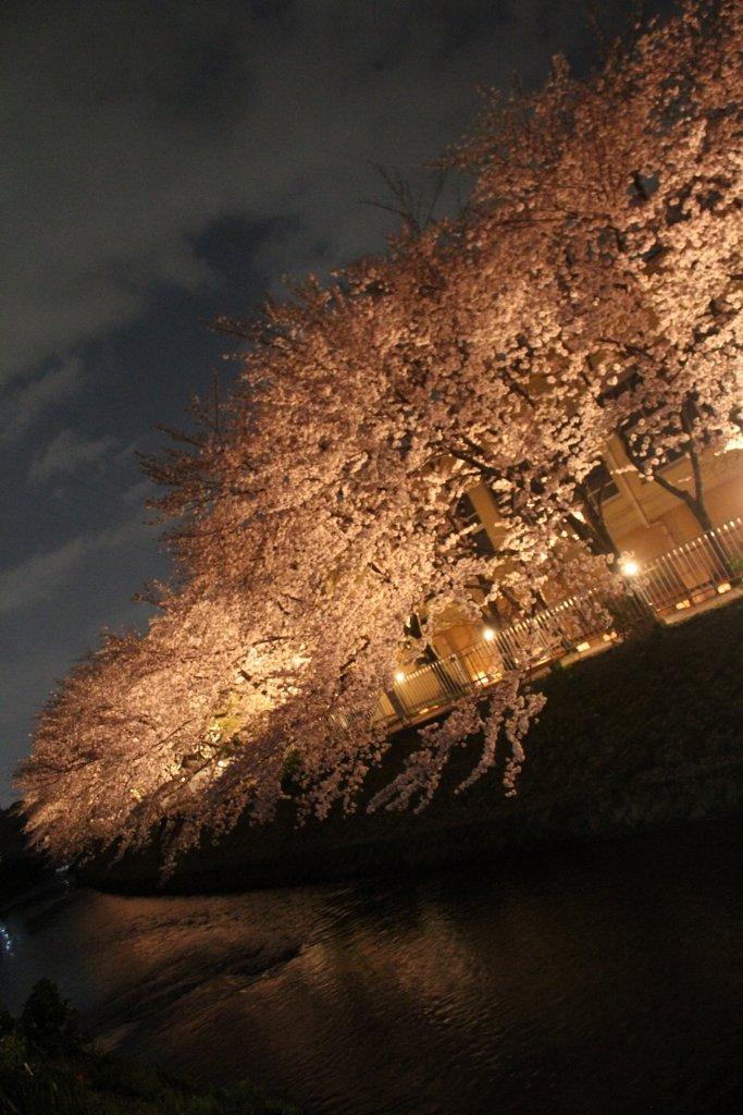 京都 有栖川の夜桜
