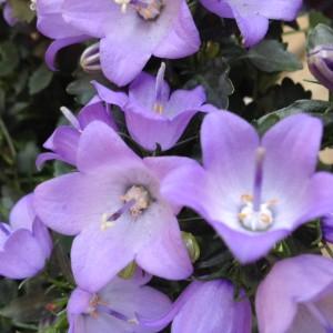ベルフラワー アップ(花)