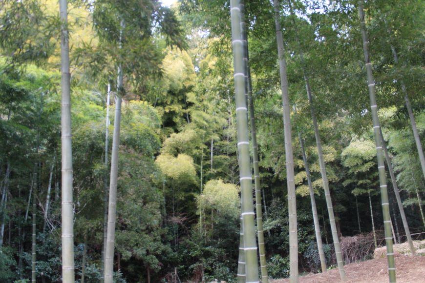北嵯峨の風致地区 竹林