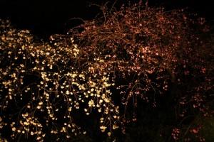 源平桃 京都府立植物園 夜間