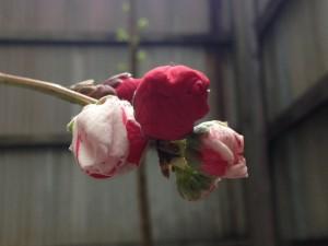 源平桃の蕾
