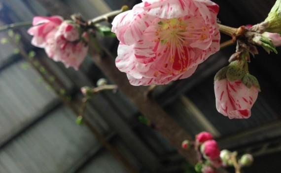 源平桃が開花20160401