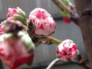 開花間際の源平桃