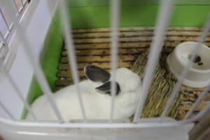 ウサギの命(みこと)