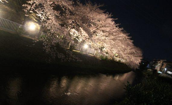 有栖川の桜のライトアップ 京都市右京区