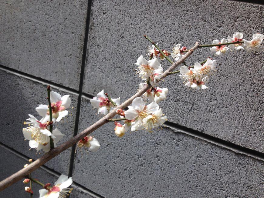小梅の花 2019 花が密集