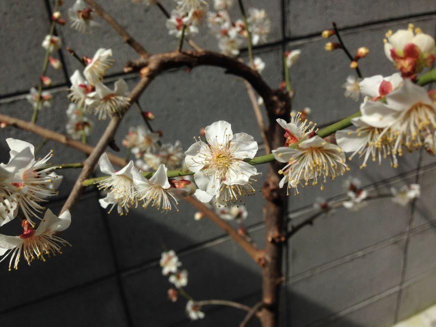 小梅の花 2019 アップ