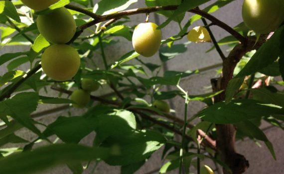 小梅の実りと成長の記録 京都市上京区本社